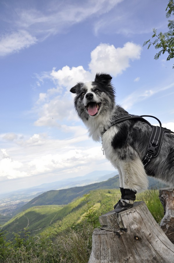 Szelki SECURITY TIP TOP do dogtrekkingu