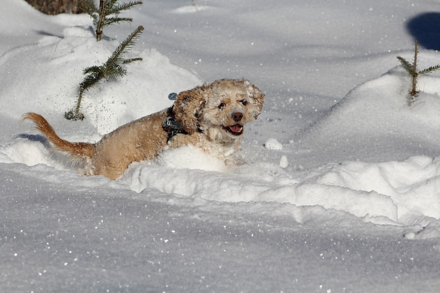 dog-in-the-snow-1483456_960_720
